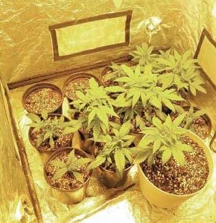 Esrardan 20 kat daha tehlikeli uyuşturucu SKUNK